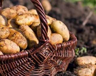 荷兰黄皮黄心小土豆